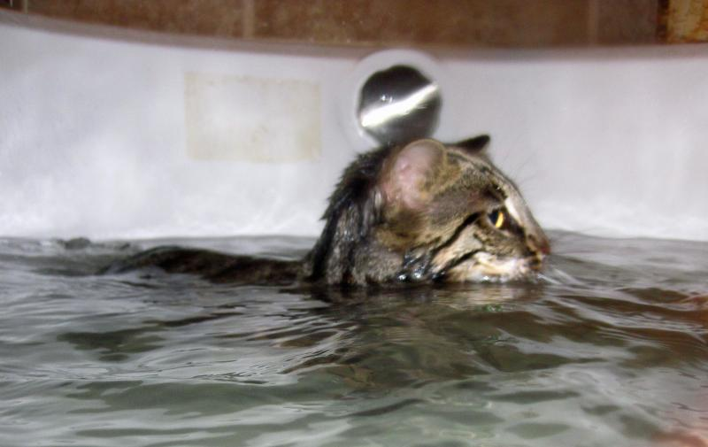 Bengal Cat Swimming, Asian Leopard Cat Swimming in Bathtub